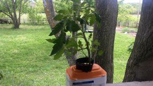Harden Off hydroponic tomato