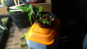 Tomato plant in small hydroponic container