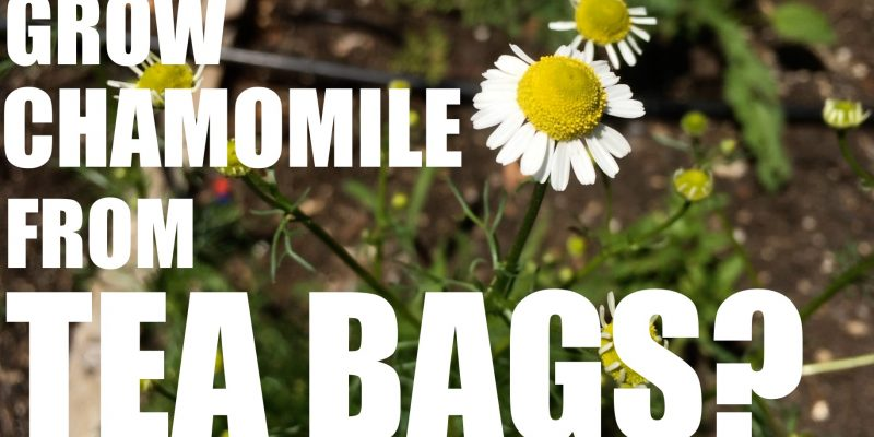 Grow Your Chamomile for Mere Pennies