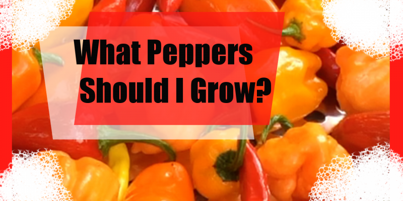 What Type of Peppers Should I Grow?